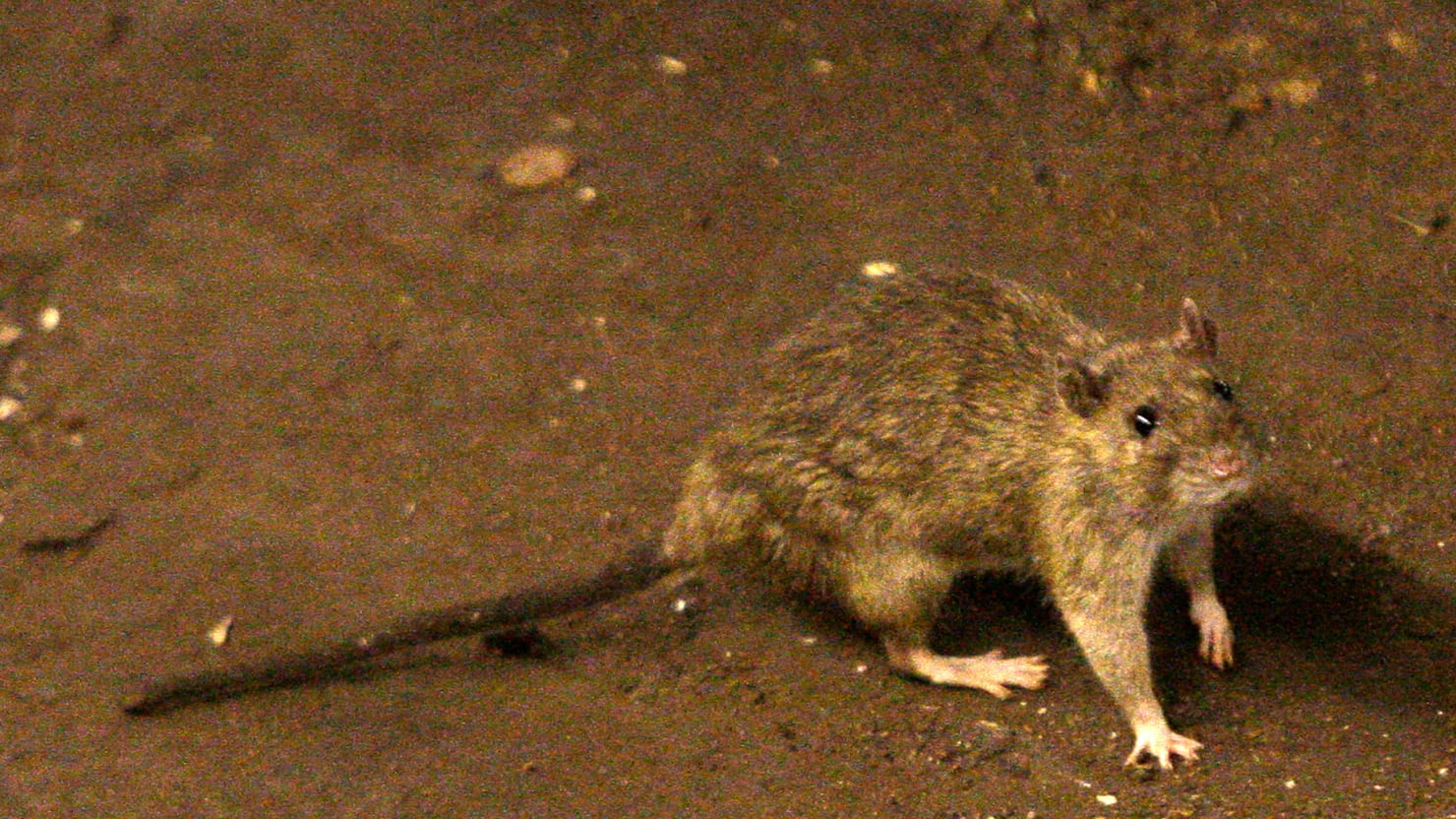 Crowdsourcing NYCs War On Rats - Nyc rat map