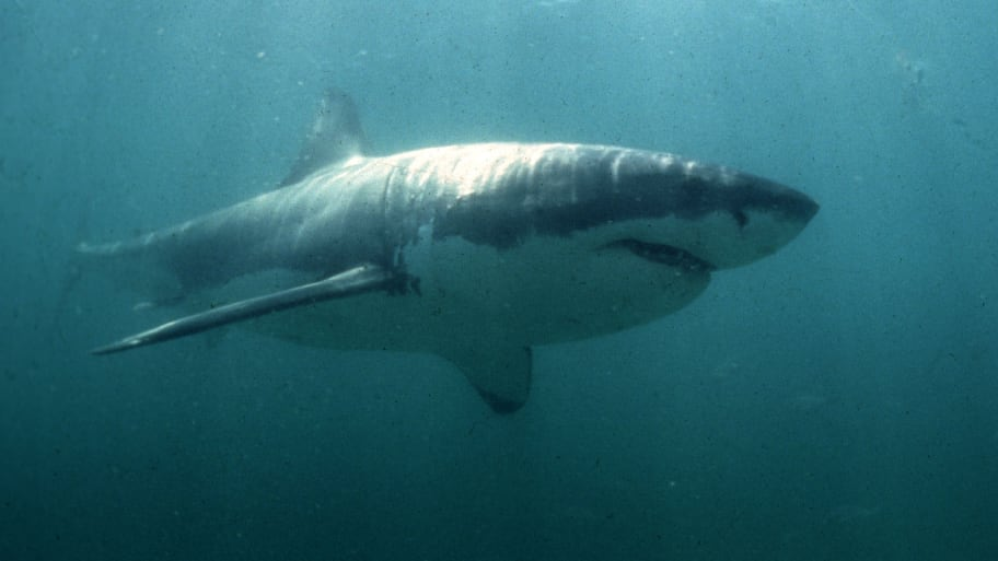 Great White Shark Spotted in Long Island Sound for First