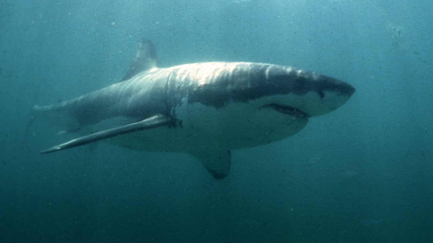 Great White Shark Spotted in Long Island Sound for First Time Ever