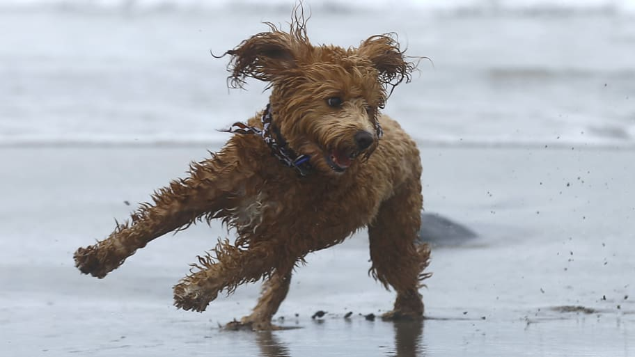 Man Who Invented the Labradoodle: I Released the 'Frankenstein' Monster of Dogs