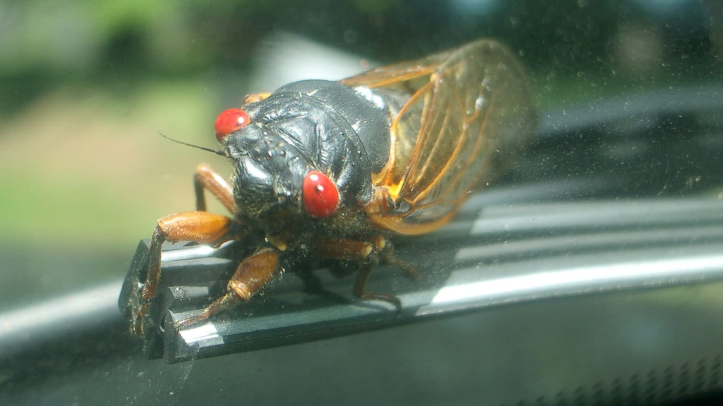 Millions of Cicadas Are About to Emerge After...