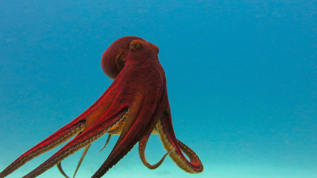 Does the Octopus Have a Soul?