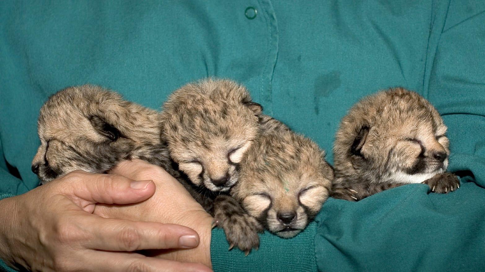 This Dog Adopted 5 Baby Cheetahs