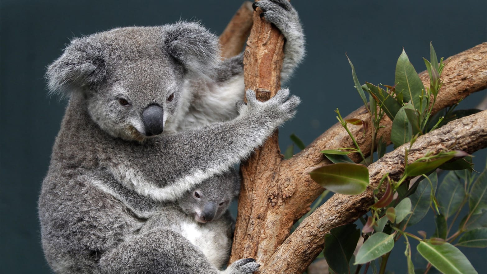Why Australia Hid Its Koala Mass Murder