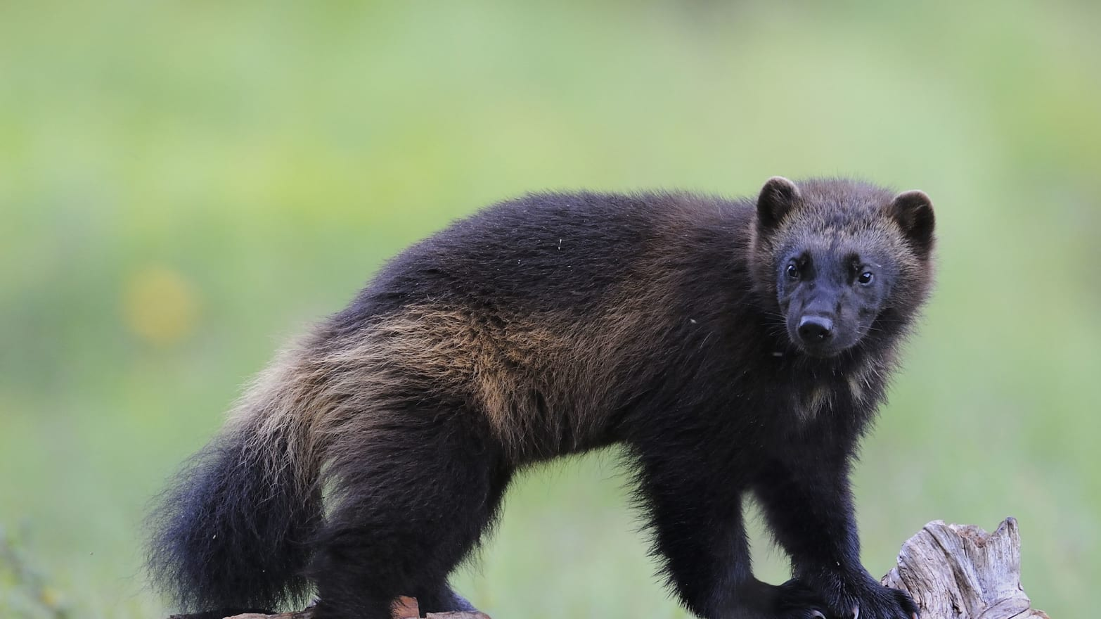 Who Will Save the Wolverine? Not the U.S. Fish and Wildlife Service