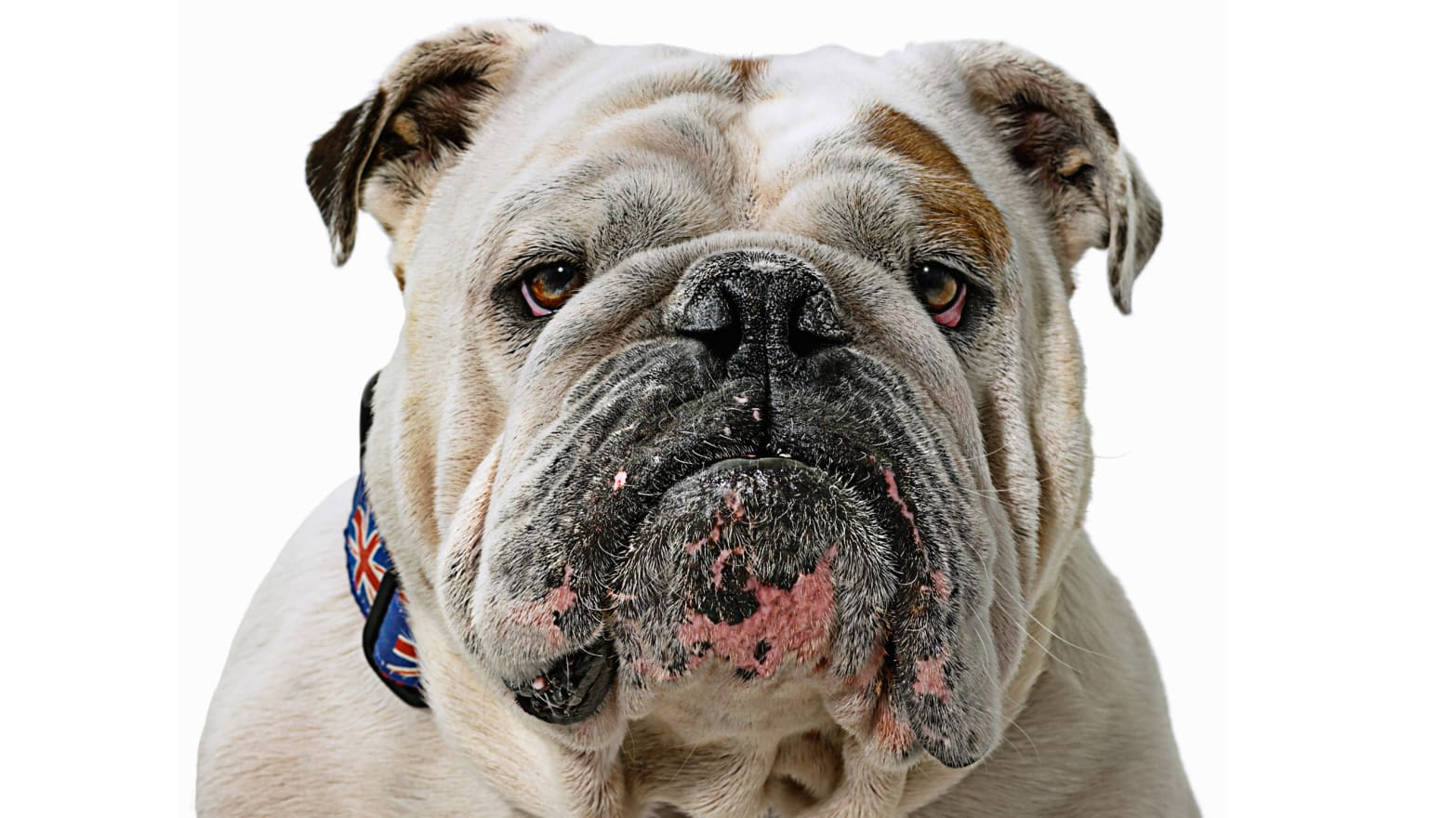 How the English Bulldog Lost Westminster But Conquered America