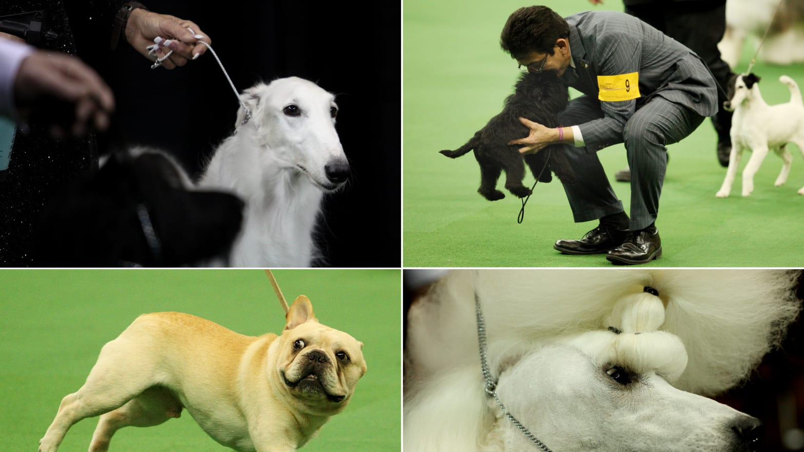 Westminster Dog Show 2013: Banana Joe, Swagger & More (PHOTOS)