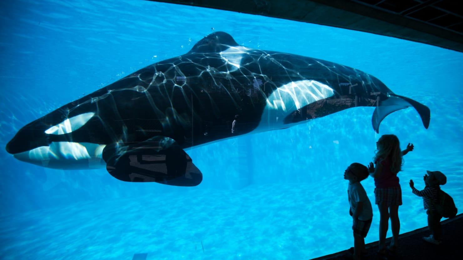 Seaworld U2019s  U2018blackfish U2019 Killer Whale Tilikum Dies
