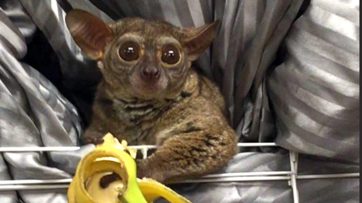 Man Robs Wife's Pet Store, Gives Monkey to Prostitute