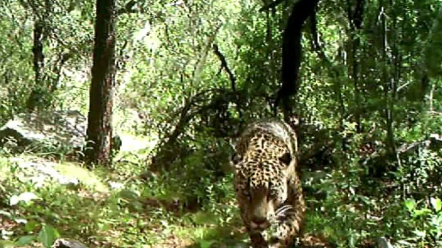 The U.S.'s Only Jaguar Caught on Camera
