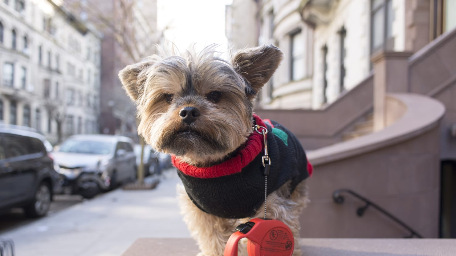 Inside the Posh Life of A New York Yorkie (PHOTOS)