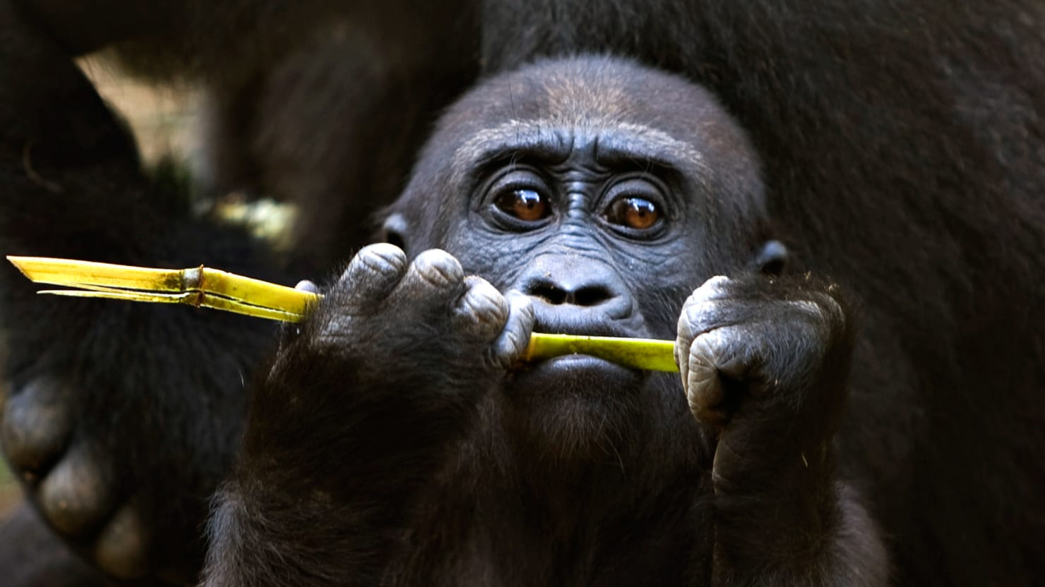 Ebola Is Wiping Out the World's Gorillas