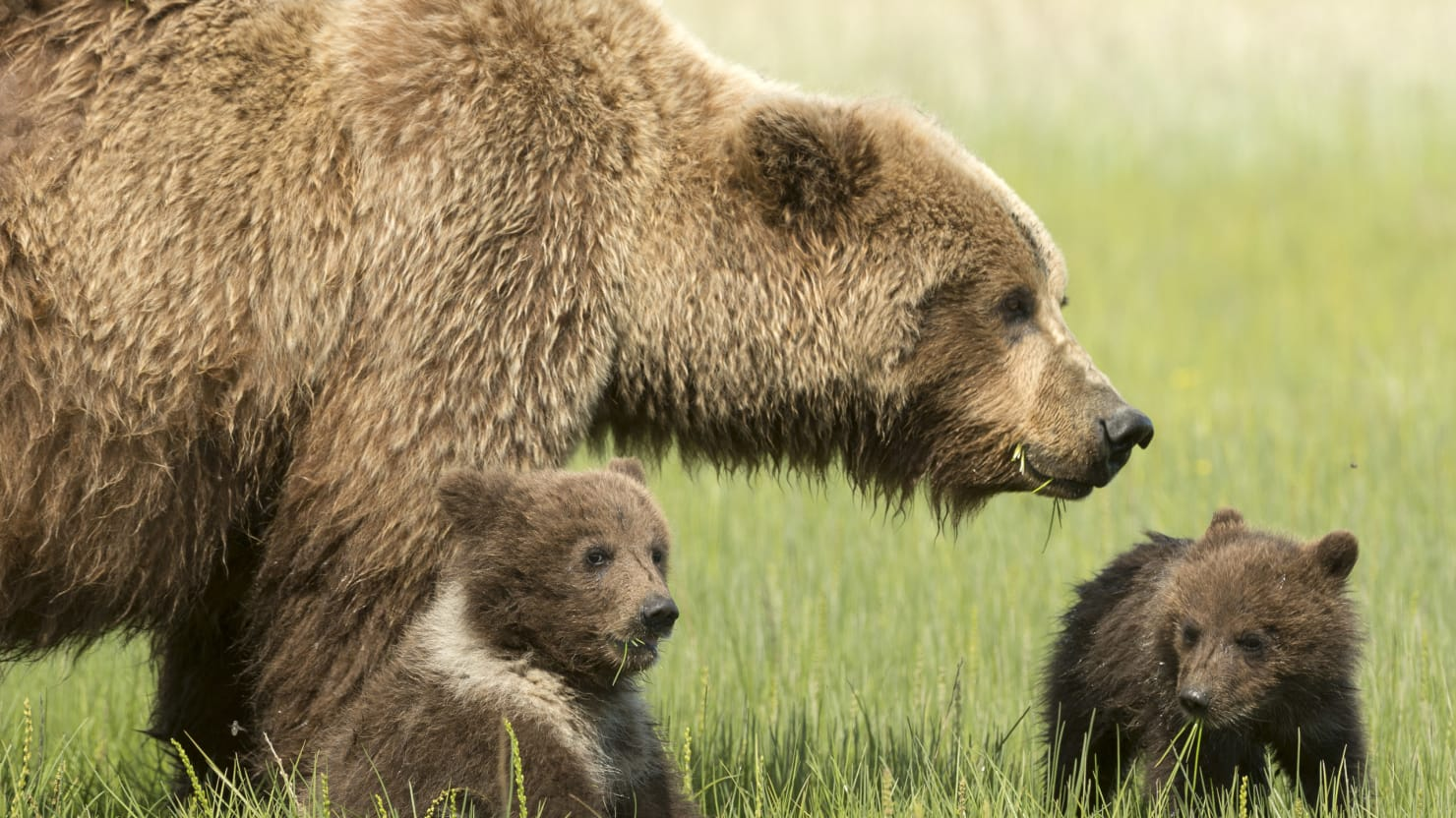 What it takes to kill a grizzly bear daisy gilardinigetty publicscrutiny Choice Image