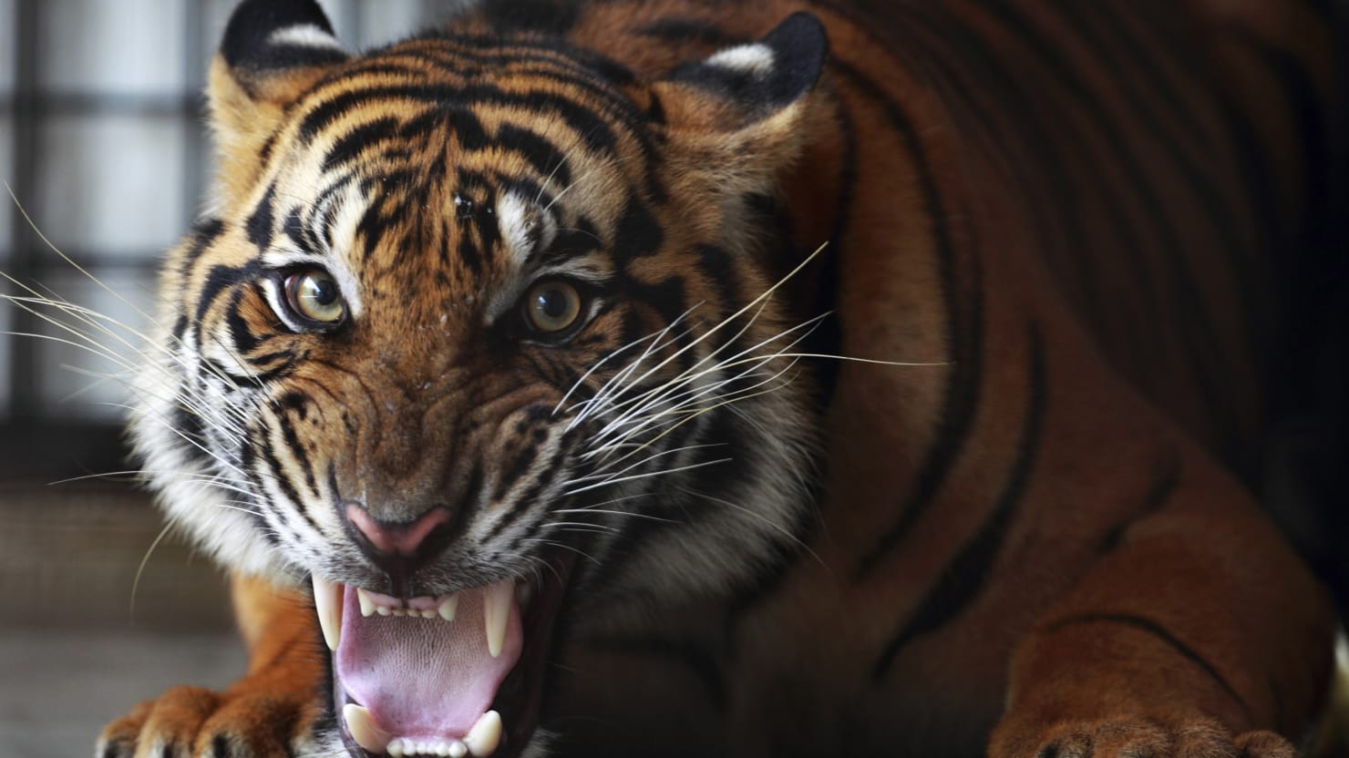 why do chinese oligarchs secretly love illegal tiger meat