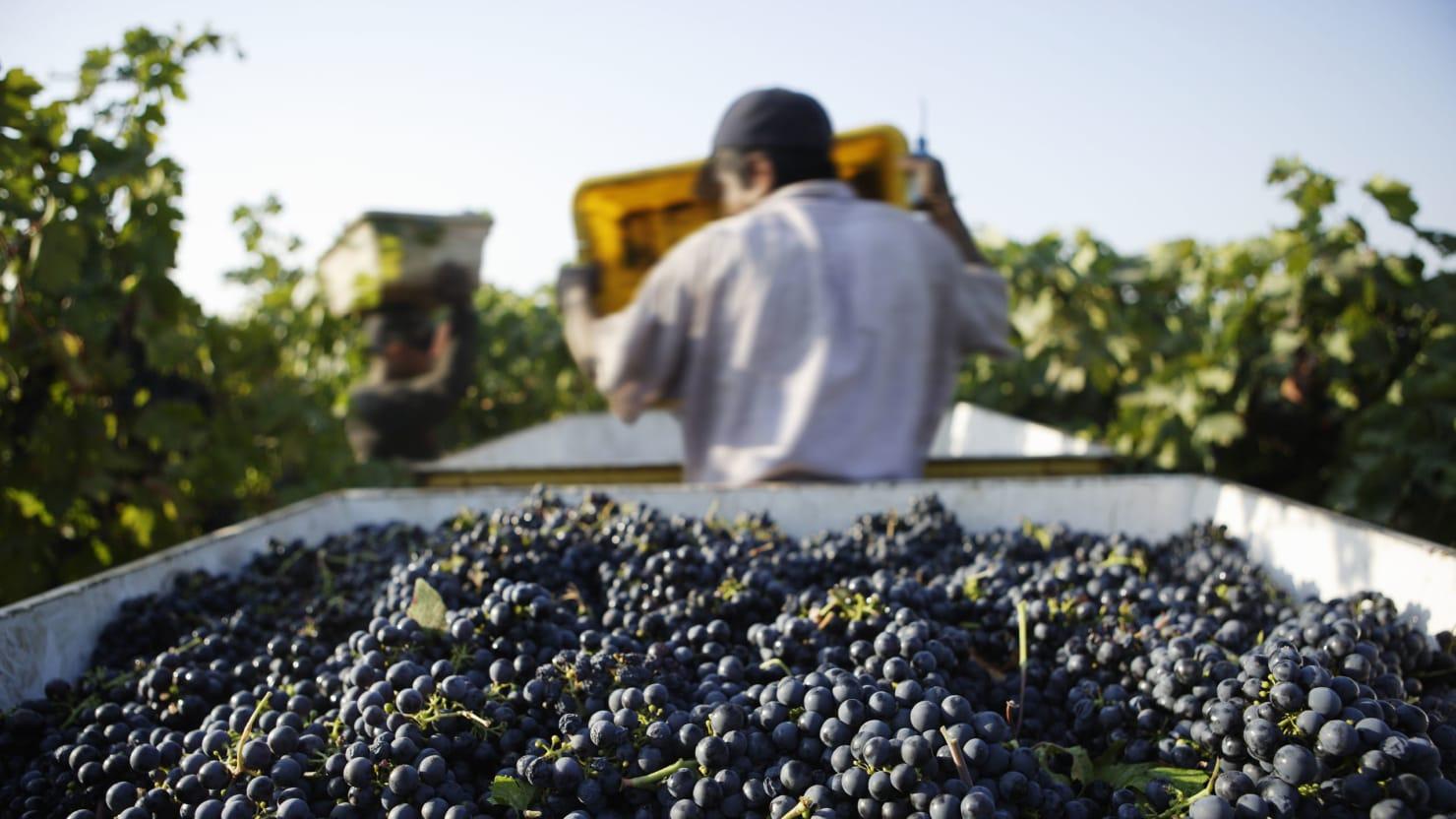 The Pleasures of America's Oldest Vines