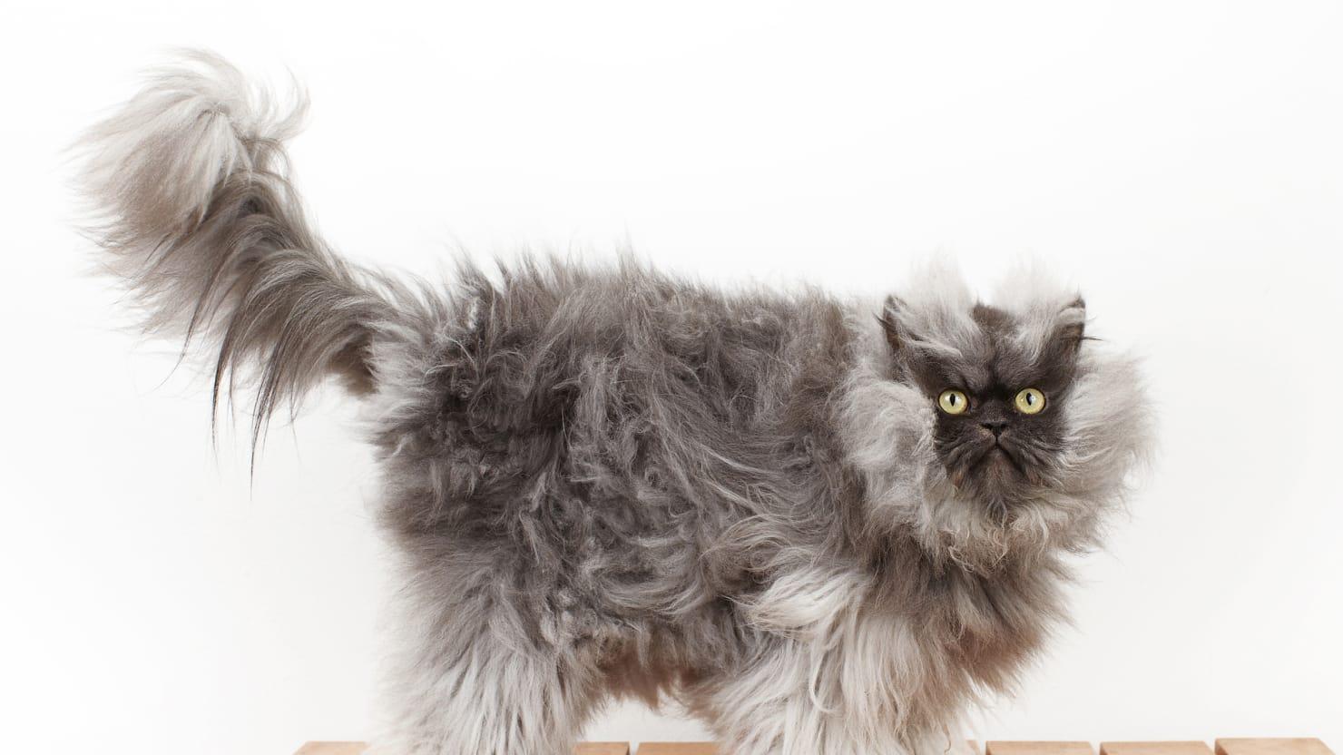 ryan - Smallest Cat In The World Guinness 2013