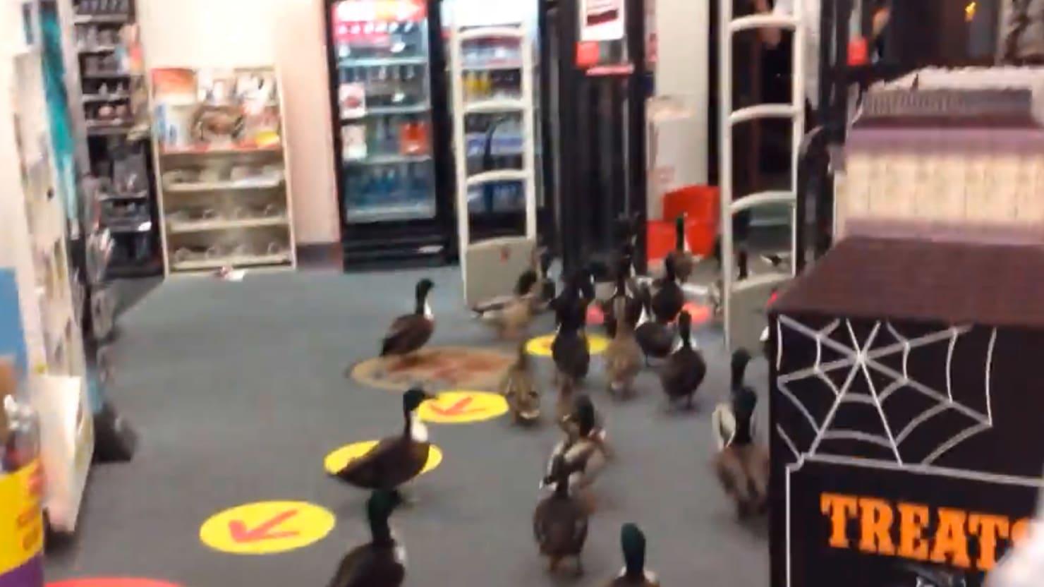 so 50 ducks walk into a cvs the daily beast