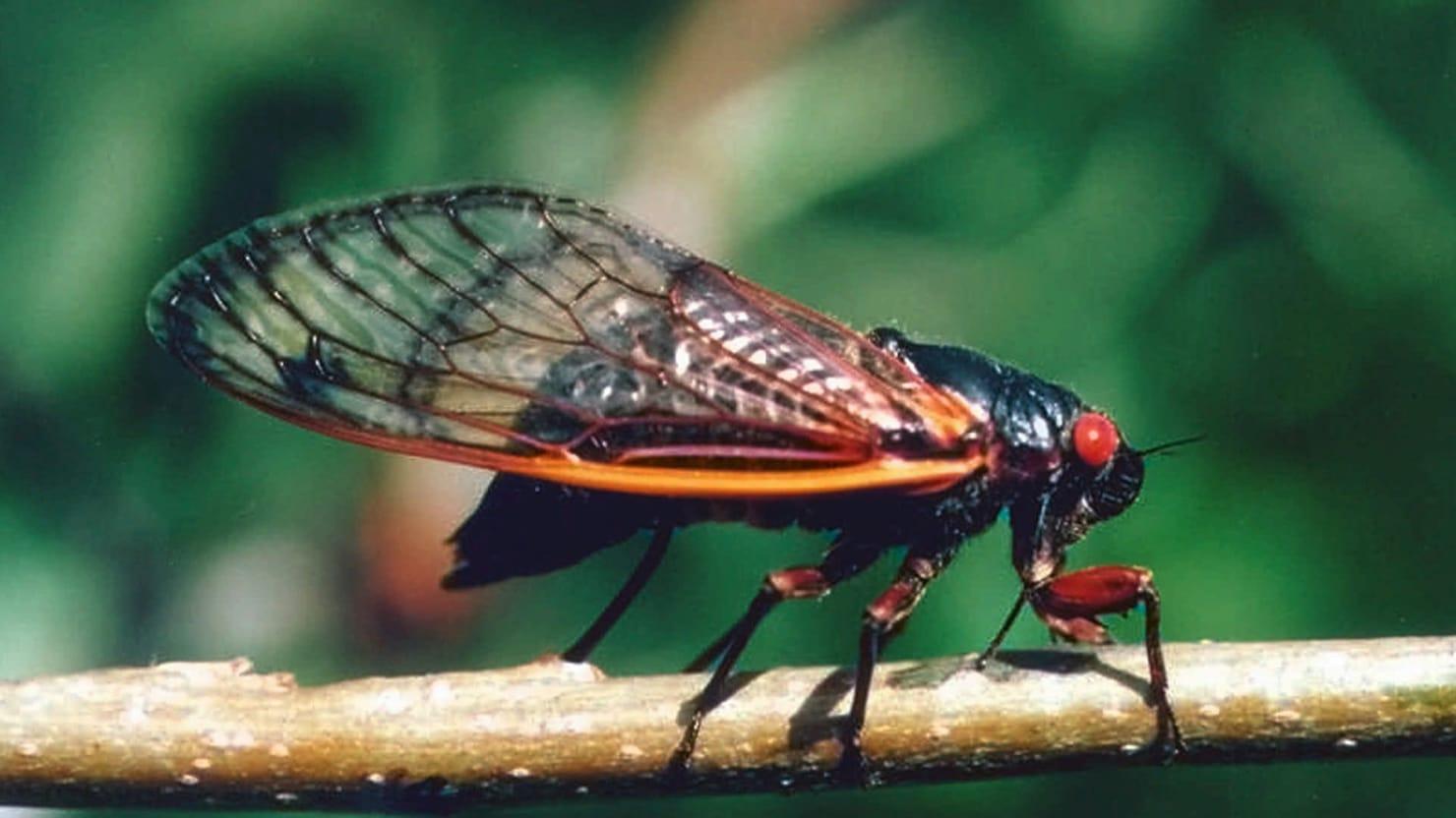 Cicada Panic, 1860 Style