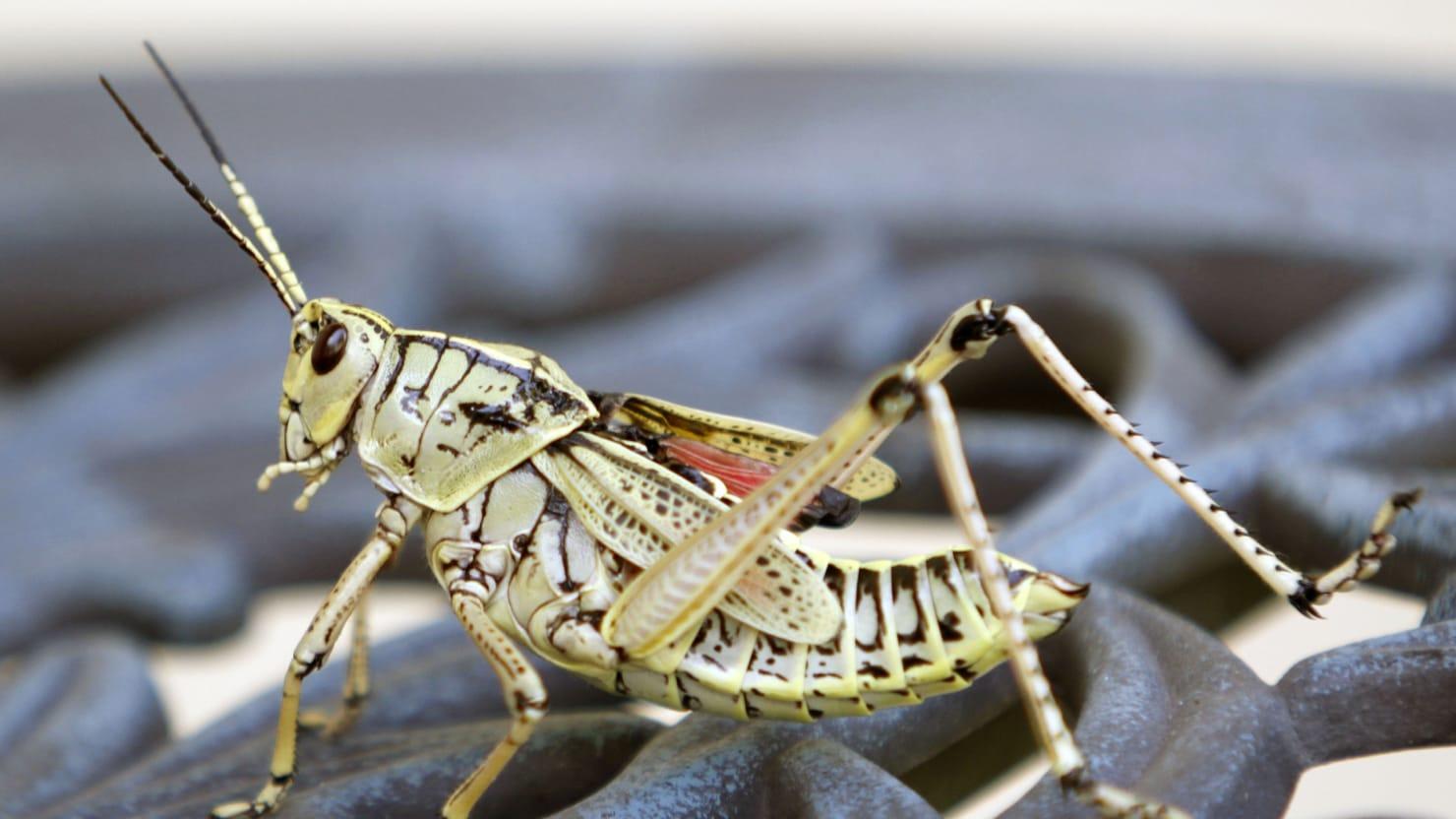 U N Insects Cicadas, Grasshoppers,...