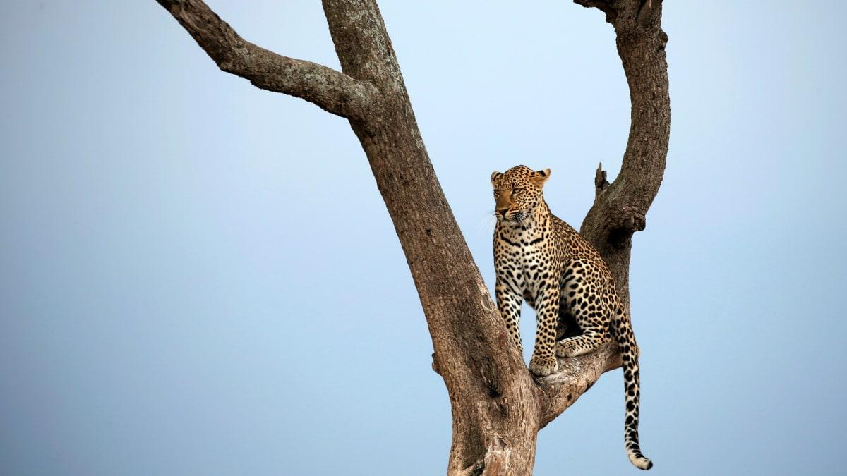 Leopard Eats Toddler at Uganda National Park