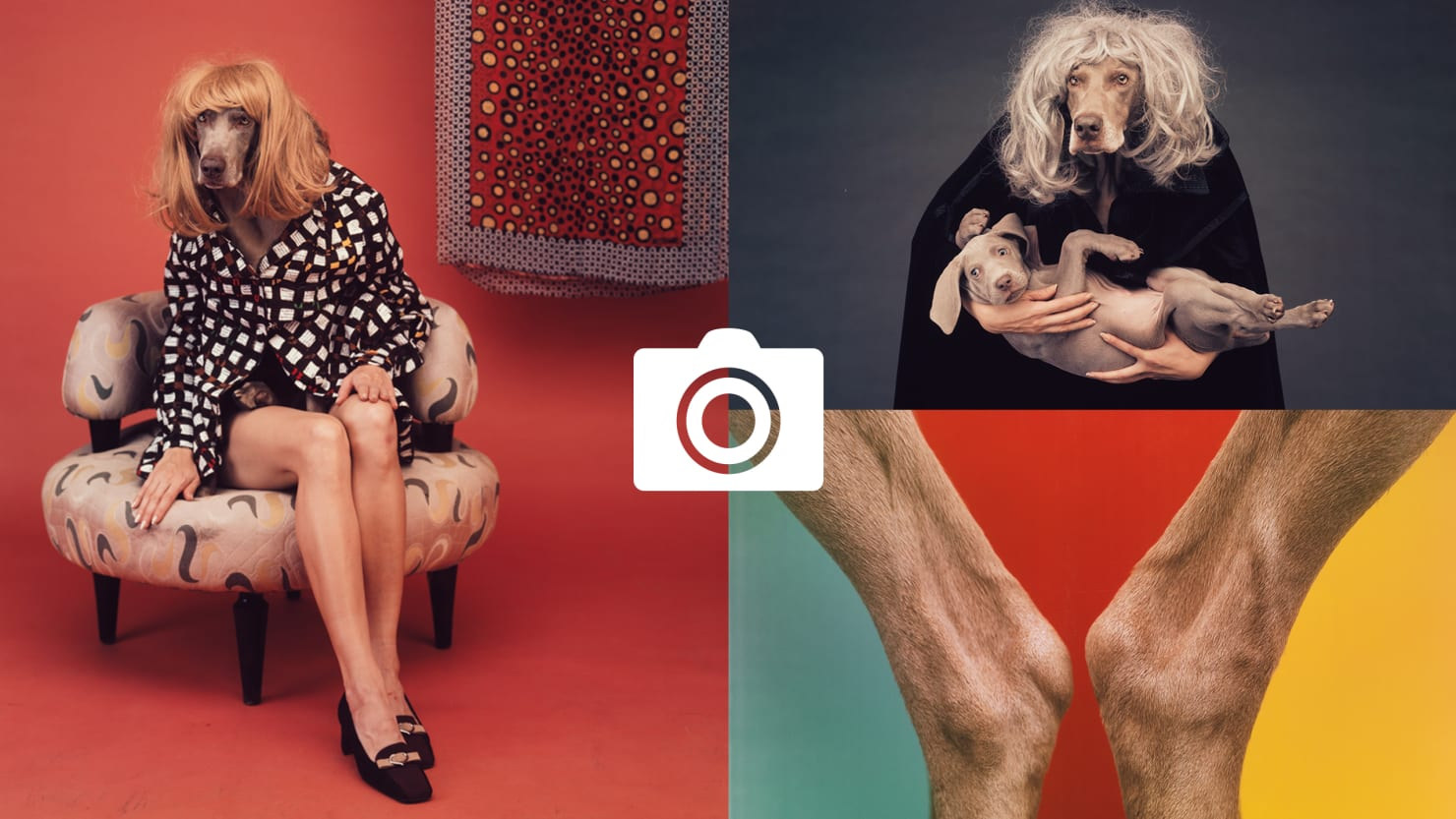 Photographer William Wegman's Old Dogs Learn New Tricks