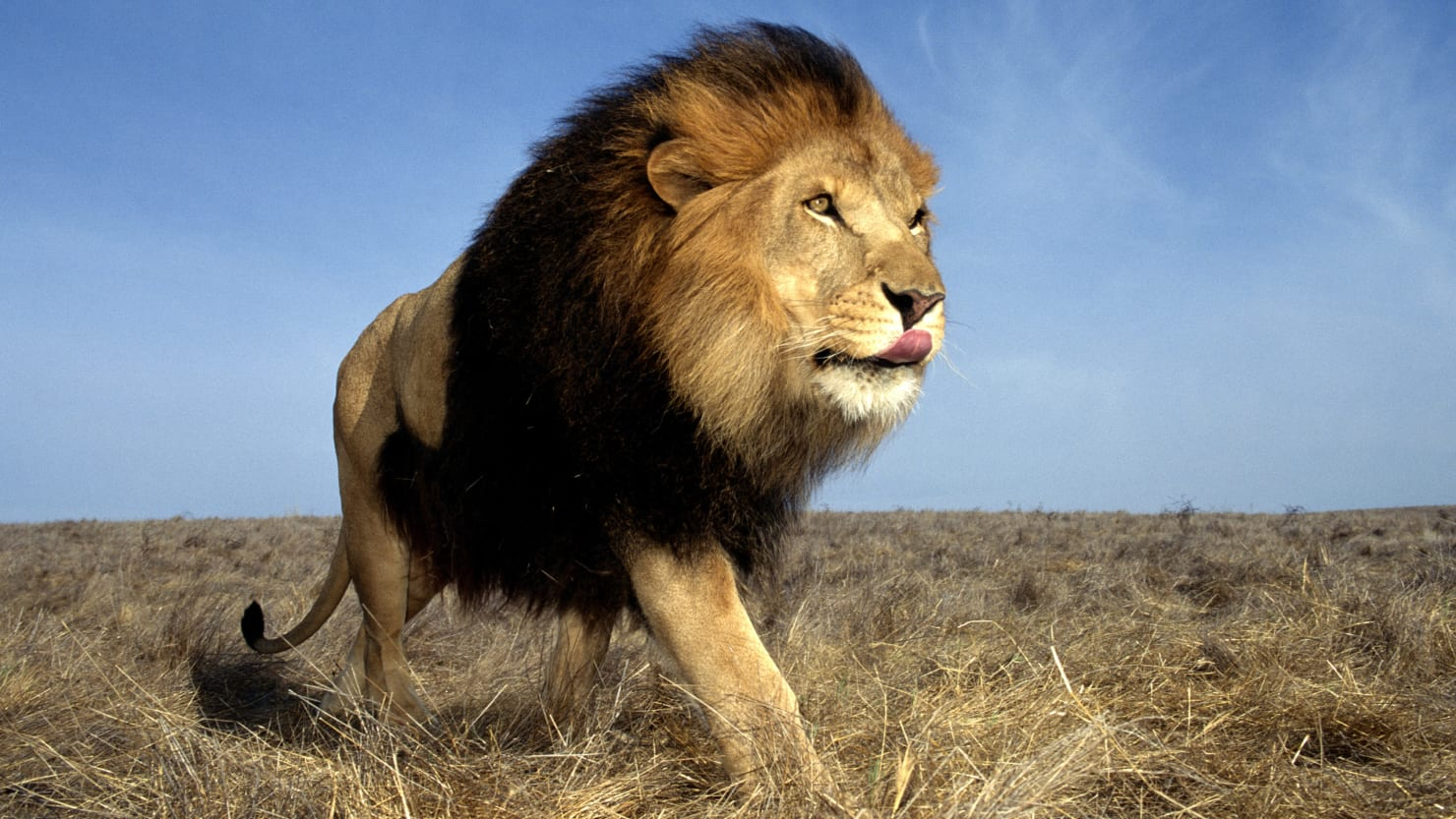 african lions born free no born captive to be killed