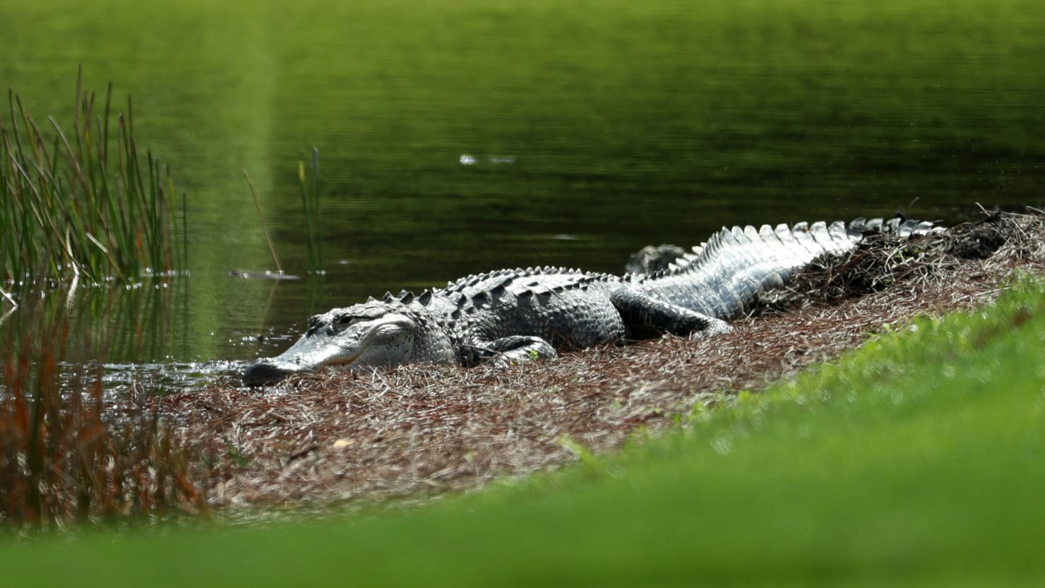 Body of Woman Snatched by Alligator Found in Florida