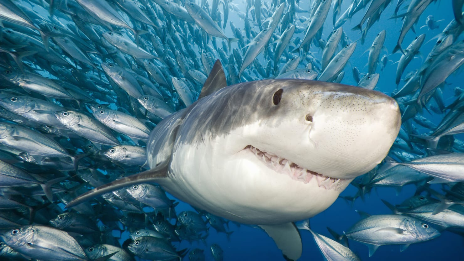 sharks are creeping into the northeast because of climate change