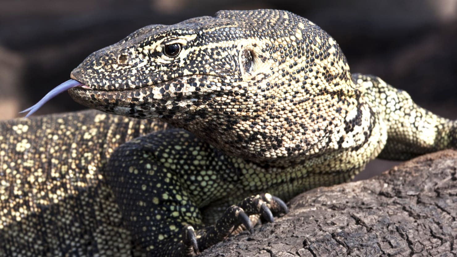 A Six Foot Lizard Is Terrorizing A Florida Family