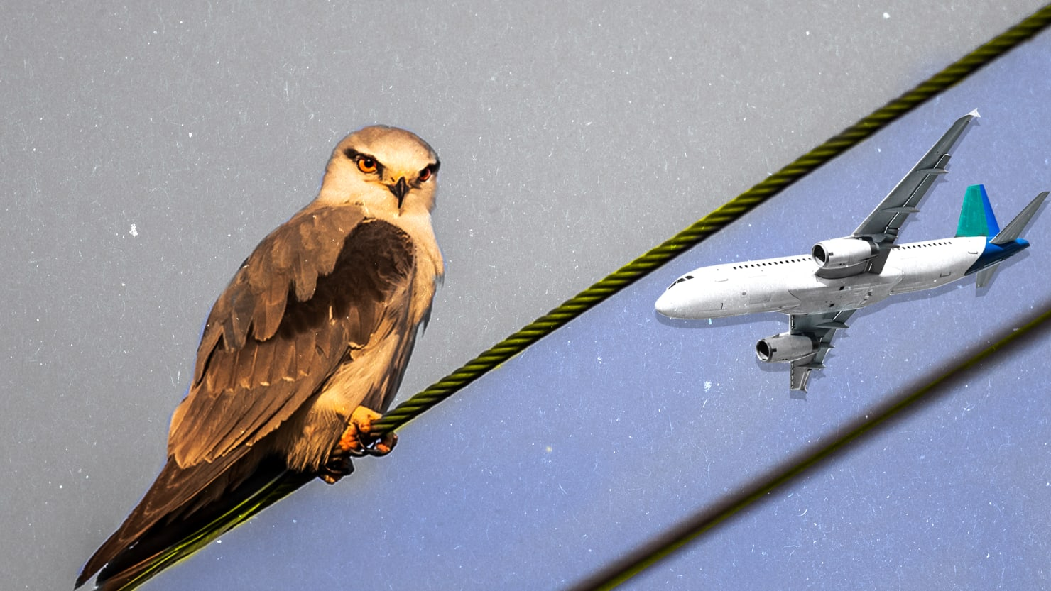 this bird drone can prevent airplane crashes