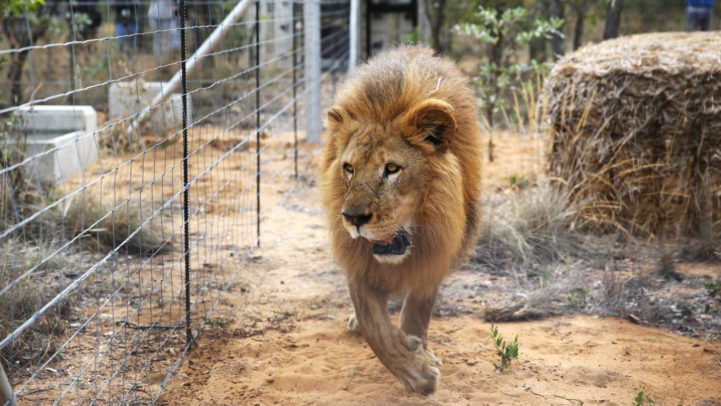 lion escapes enclosure kills 22 year old intern the daily beast