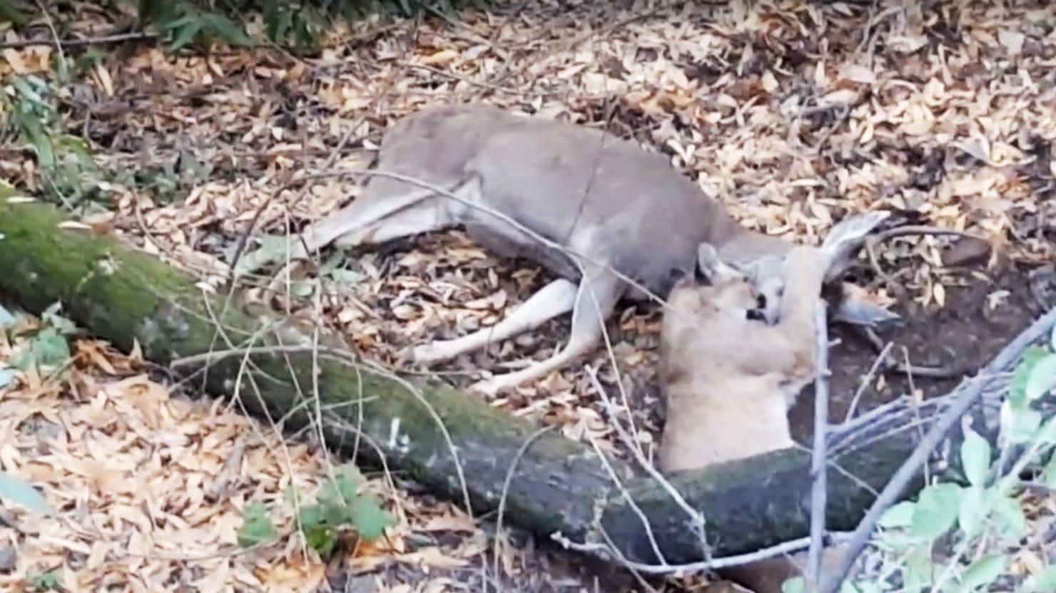 Auto Group Of San Antonio >> Jogger Stumbles Upon Cougar Killing Buck