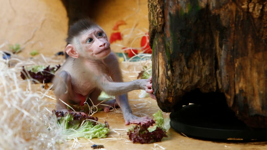 5bf5bf4d45bd China  Scientists Defend Implanting Human Genes in Baby Monkey Brain