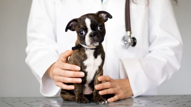 image of dog on table with veterinarian hold it anti vaccine antivax anti vaxxer rabies vet john robb richard ford titer