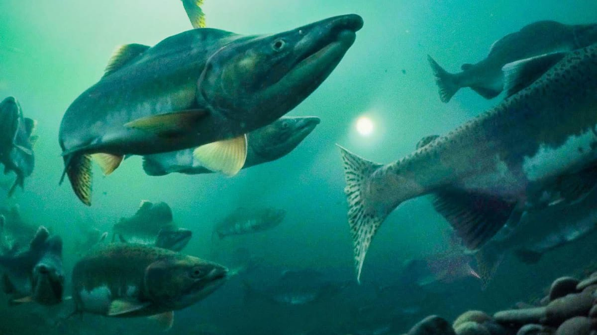 Snorkeling with Salmon is Your Next Underwater Adventure