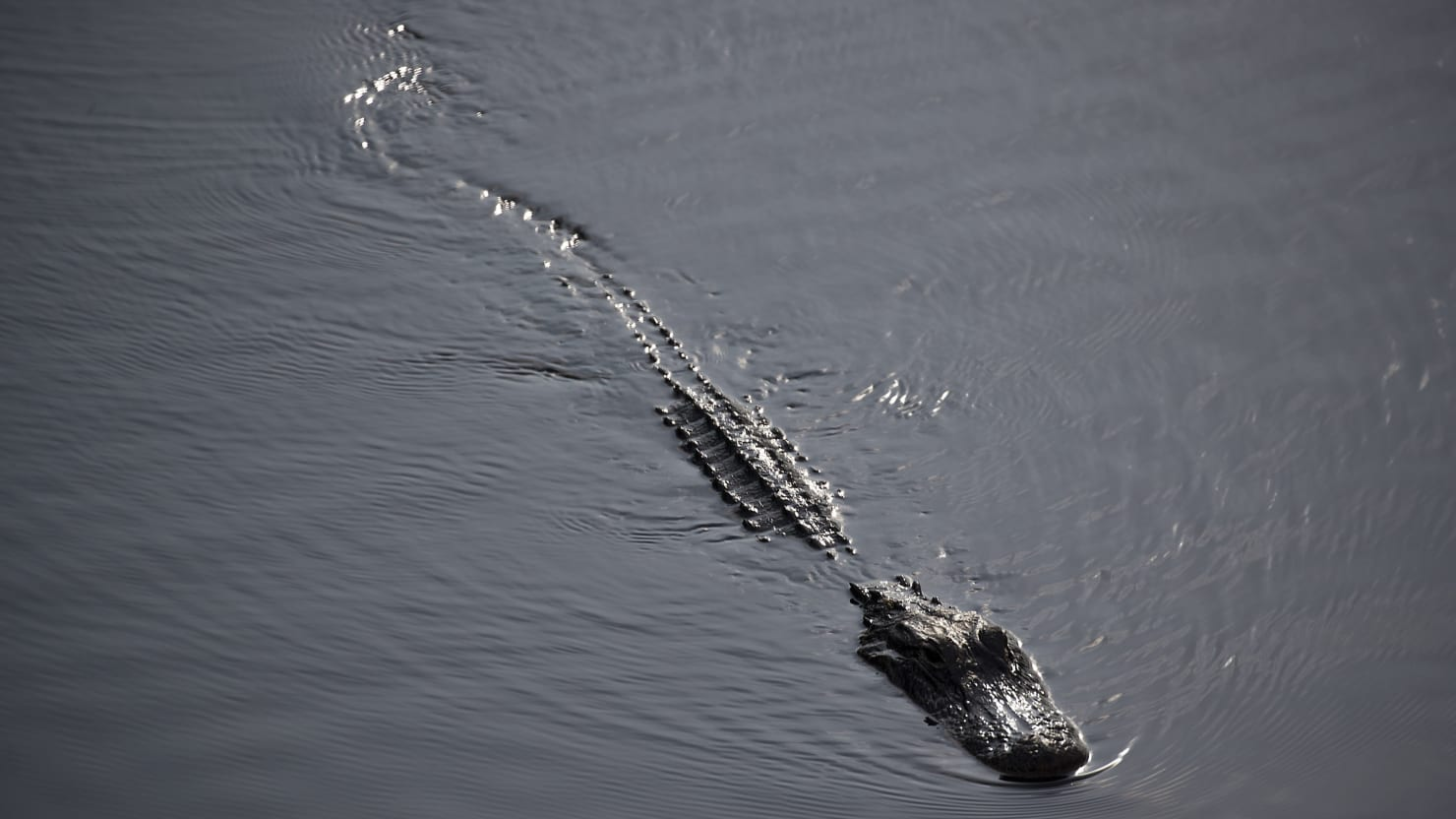 Florida Woman Suffers 'Significant' Injuries in Alligator Attack