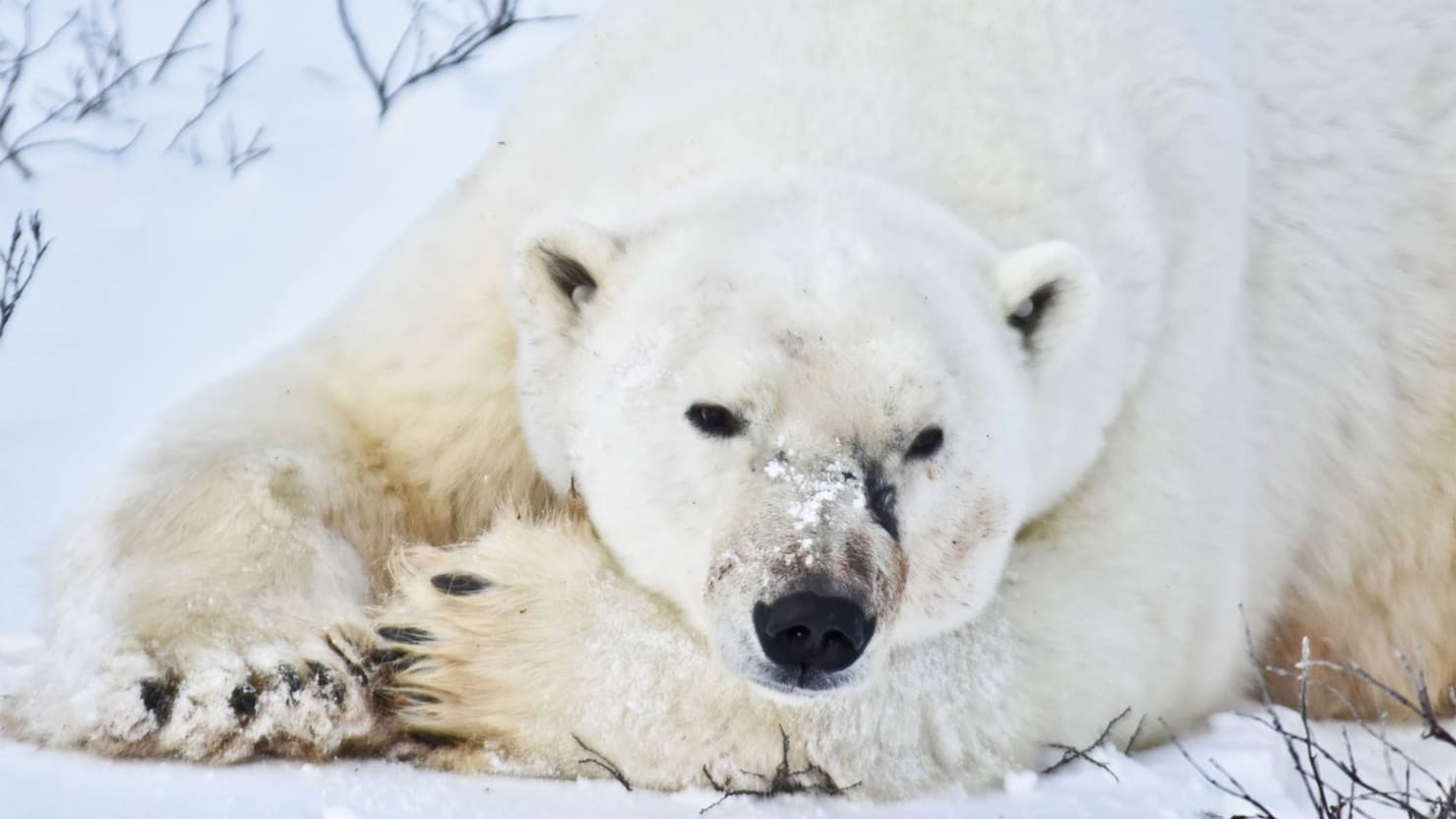 Climate Change Will Make Polar Bear Tourism More Unpredictable