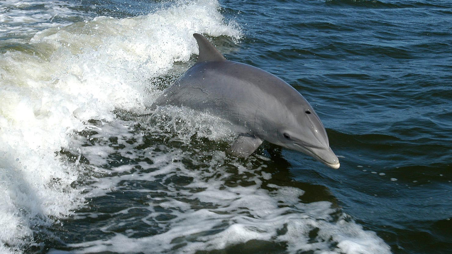 Dolphins Dying at Triple Normal Rate Along Gulf Coast
