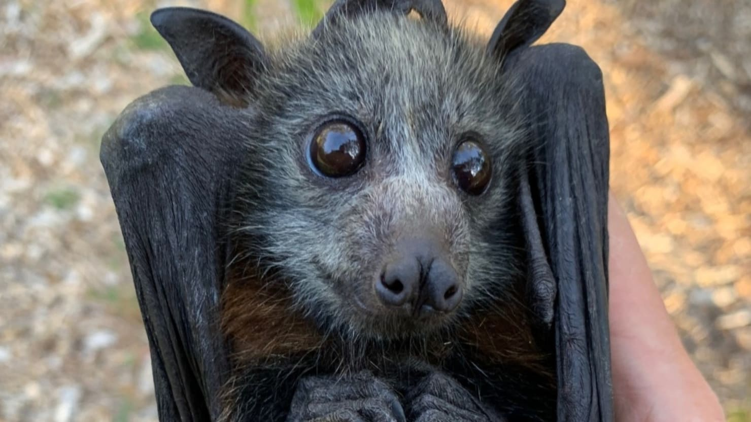 Australian Bushfires and Heat Are Killing Flying Foxes by the Thousands