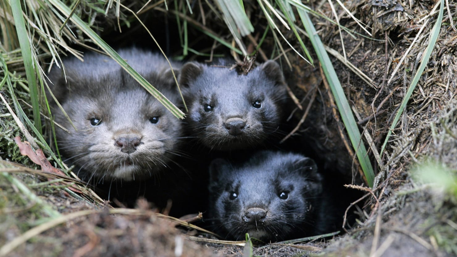 Oregon Mink Farm Reports COVID-19 Outbreak