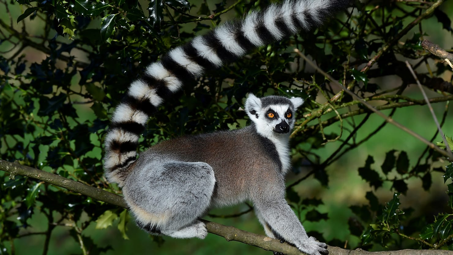 California Man Pleads Guilty to Stealing Endangered Lemur from Zoo