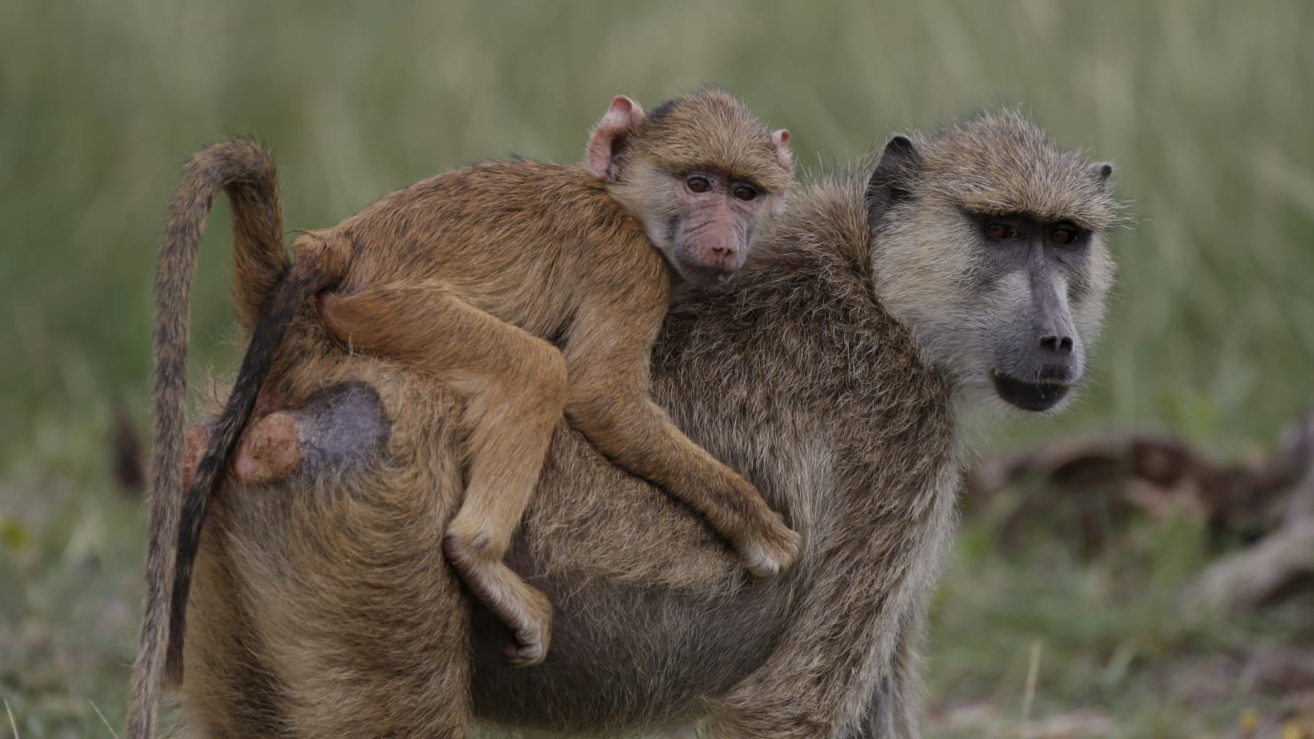 Image result for baboons