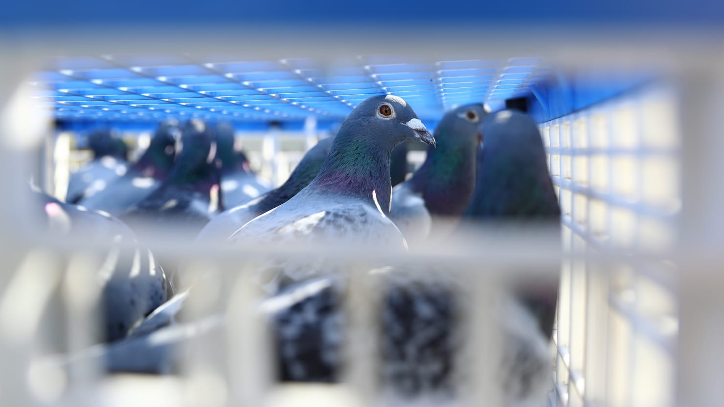 Belgian Racing Pigeon Sells for Record-Breaking $1.9 Million to Unidentified Chinese Buyer