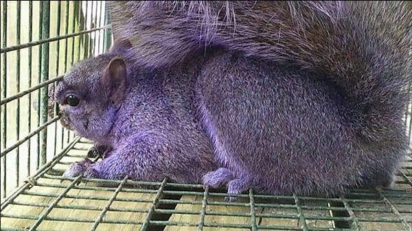 Couple Traps Purple Squirrel