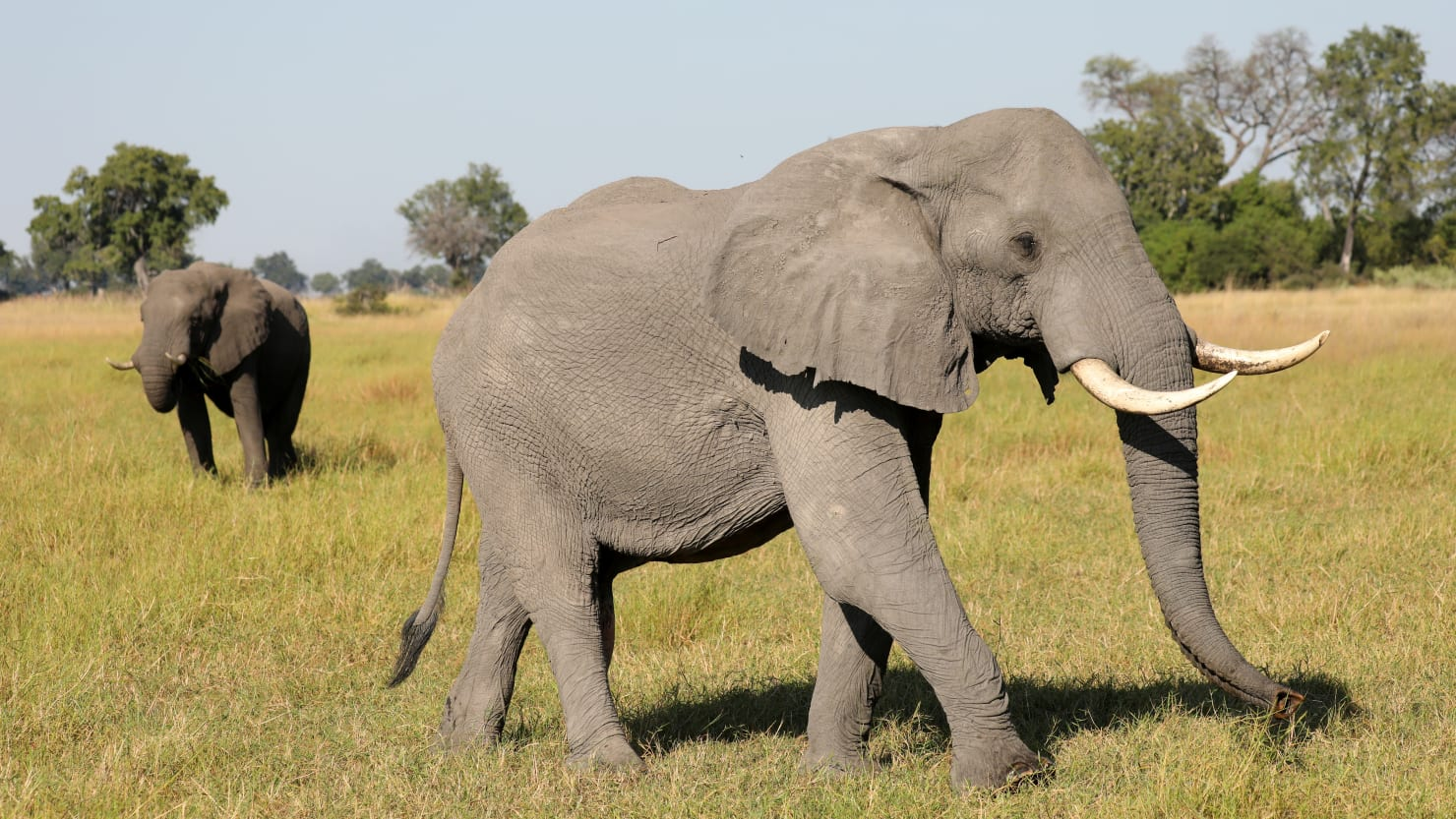 Botswana Considers Culling Elephants and Using the Meat For Pet Food