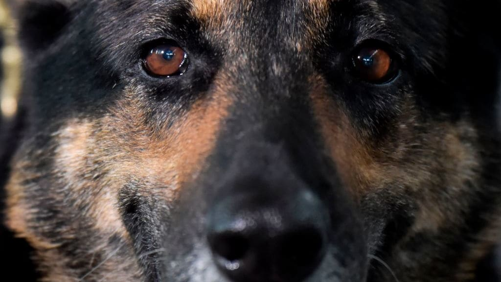 First Known Canine Coronavirus Case, a German Shepherd Named Buddy, Dies