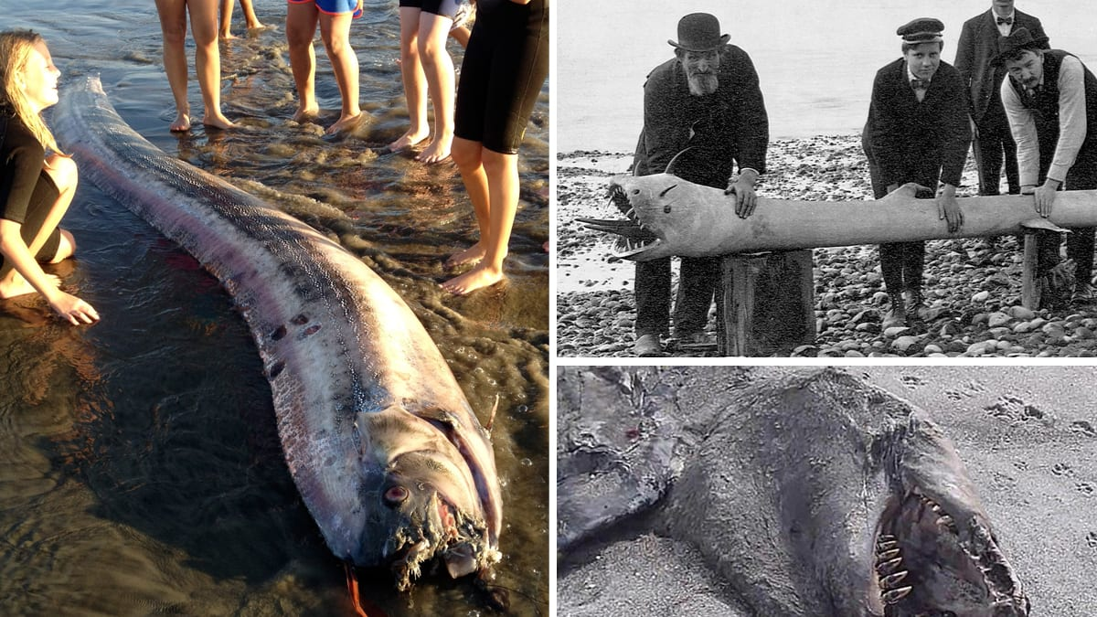 Mysterious Sea Creatures Wash Ashore (Photos) for Giant Sea Serpent Washed Ashore  239wja