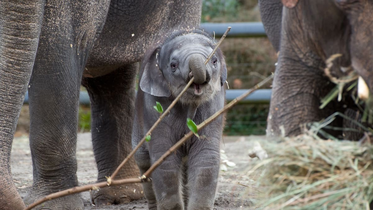 Elephant Calf Lily Rescued By Oregon Zoo