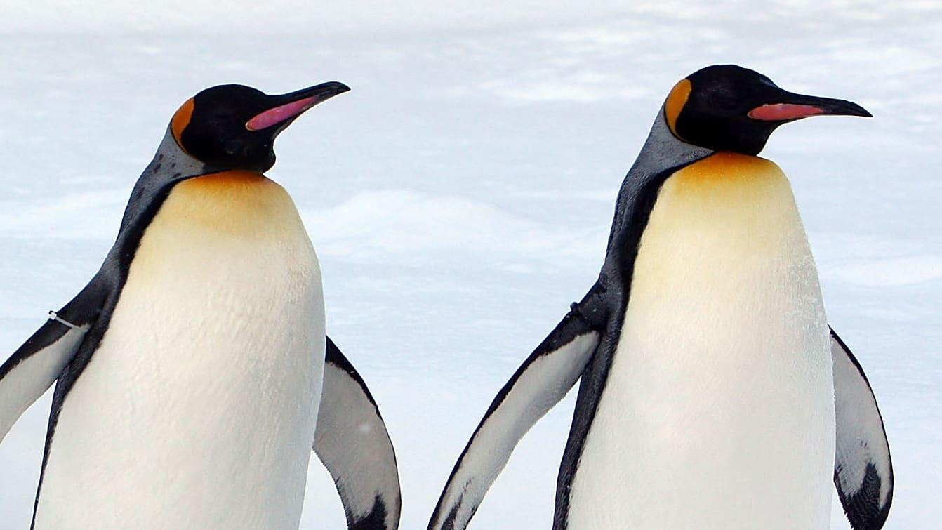 Gay Penguins Adopt Abandoned Egg at German Zoo